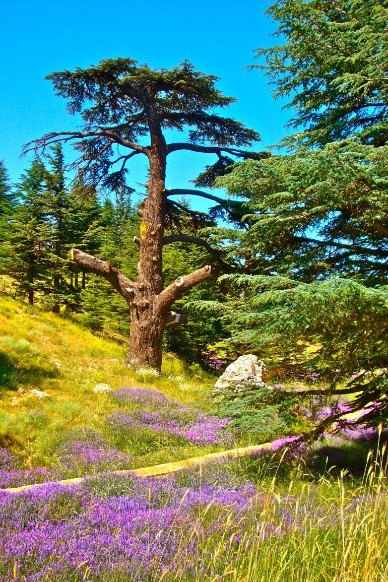 Cedars -- Al-Shouf, Lebanon