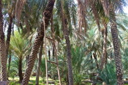 Date palm Oasis -- Al-Ain, United Arab Emirates
