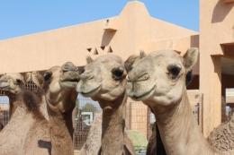 Camel souk -- Al-Ain, United Arab Emirates