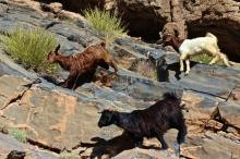 Goats -- Balad Sayt, Oman