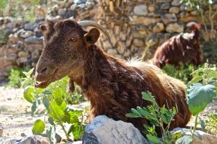 Goat -- Wadi Bani Awf, Oman