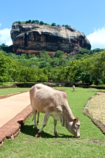 Cow and a volcanic plug -- Sigiriya, Sri Lanka
