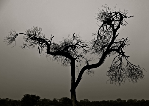 Tree -- Timbavati, South Africa