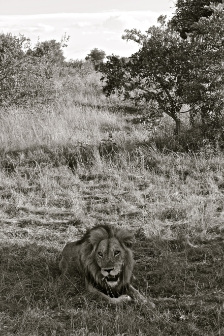 Lion -- Timbavati, South Africa