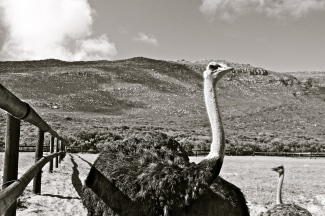 Ostrich -- Cape of Good Hope, South Africa